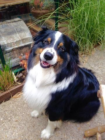 Gaîa, chien Berger australien