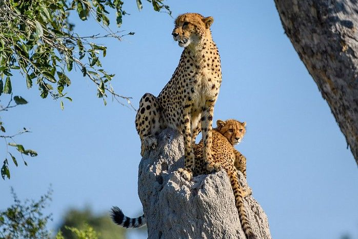 Who wouldn't want to see a majestic cheetah and cub surveying the Plains from the height of an Okavango termite mound?