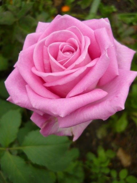 Beautiful Pink Rose Flowers