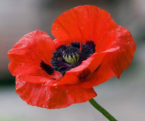 PoppyBeautiful Flower, Flower Pictures, Autumn, Red Poppies, Plants, Front Yards, Gardens, Wizards Of Oz, Oriental Poppies