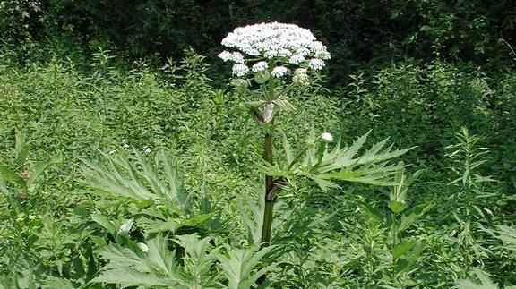 Giant hogweed plant popping up causes burns, blindness~Beware the giant hogweed, a plant that can cause serious skin irritation and even blindness. By GABRIELLE LEVY, UPI.com | Blog