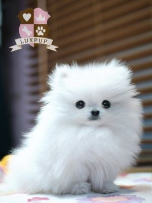 White Pomsky | www.pixshark.com - Images Galleries With A ...