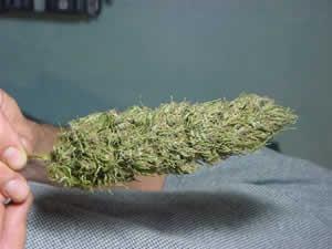 Tipos de marihuana : Sativas de La Palma.