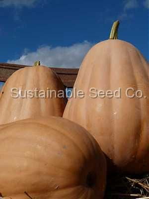 KY Field Pumpkin.  Once the industry standard for canning.  Very prolific.  One of the best canning pumpkins still around.  Very rare and getting h...