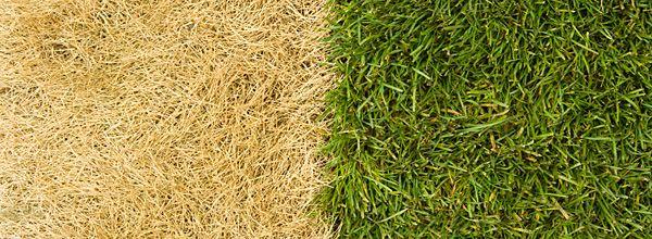 Un guide pour l'entretien de votre pelouse et un gazon en santé. Des conseils sur l'arrosage et la tonte