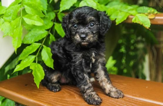 May Cavapoo Puppy For Sale In Mifflintown Pa Lancaster Puppies Cavapoo Puppies Puppies Cavapoo Puppies For Sale
