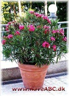 Nerie - Nerium oleander