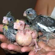 Handfeeding Cockatiels, Hand Feeding Cockatiels, baby birds, chicks, Crop Burn, Punctured Esophagus, Slow Gut, Sour Crop, Aspiration, Pneumonia, Aspergilliosis, Candidiasis, Yeast Infections, Subcutaneous Emphysema, Unweaned Baby Birds,  handfeeding baby birds,  hand feeding baby birds, hand feeding chicks, handfeeding chicks,  hand feeding problems, handfeeding problems,  handfeeding, hand feeding,