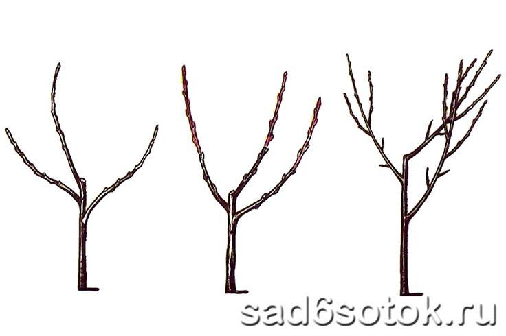 Улучшенная вазообразная крона с тремя основными ветвями