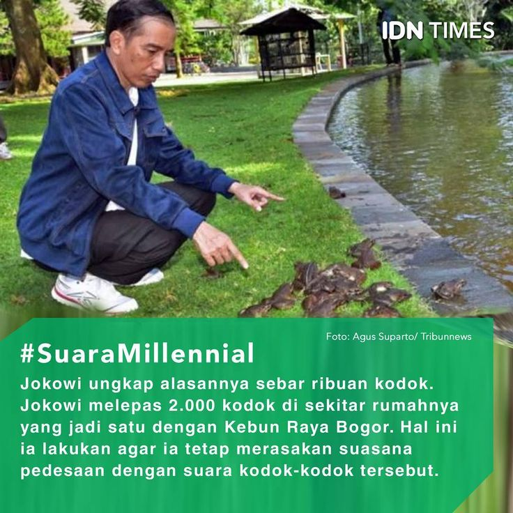 Saat masih menjadi #Gubernur DKI Jakarta, #Presiden #JokoWidodo senang memelihara kodok. . Kodok-kodok itu ia pelihara di dalam kolam #ikan rumah dinas gubernur DKI di depan Taman Surapati, #Menteng, Jakarta Pusat. . Jumlah kodoknya pun tak sedikit. #Kodok tersebut berwarna hijau tua den berukuran besar. . Menurut #Jokowi, suara-suara kodok tersebut membuatnya merasa suasana desa yang tenang. Apalagi, kala hujan. . Saat menjadi Presiden, ia tetap mendambakan suara alam. . Ia pun melepas…