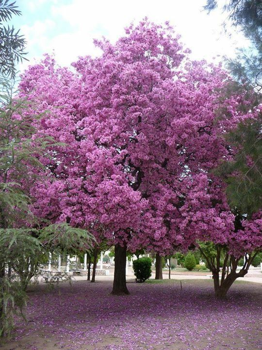 M s de 1000 im genes sobre rboles en pinterest socotra for Arboles para jardin japones