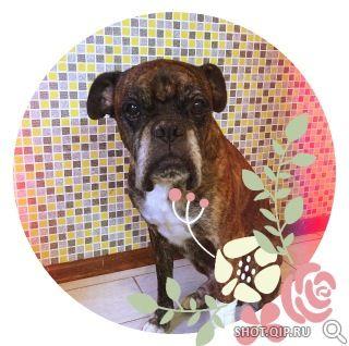 Кличка: Бадди Пол: кобель. Дата рождения: 9 лет. Откуда: г. Батайск Ростовской области. Welcome to Adopt a Boxer Rescue