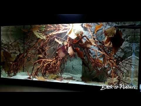 Cardinal Tetra Aquarium - Paracheirodon axelrodi - YouTube