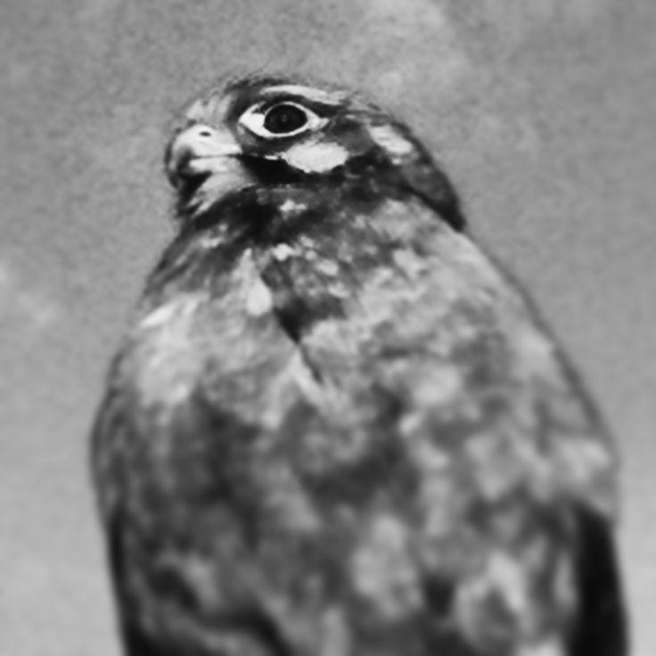 Falcon on my train