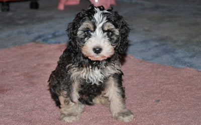 F1B Mini Goldendoodle Puppies for Sale, Goldendoodle Breeder | | Mueller Pups