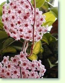 Hoya carnosa, Pflege und Kulturanleitung der Hoya