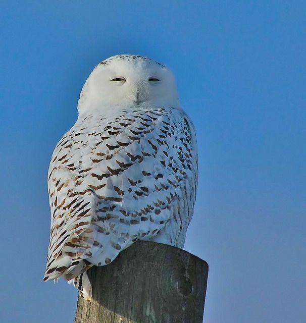Snowy Owl, Ontario, Canada, Wolfe Island , 12 Dec 2014