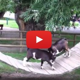 Baby goats play fight each other on a swinging bridge . . . My entire life was just made .
