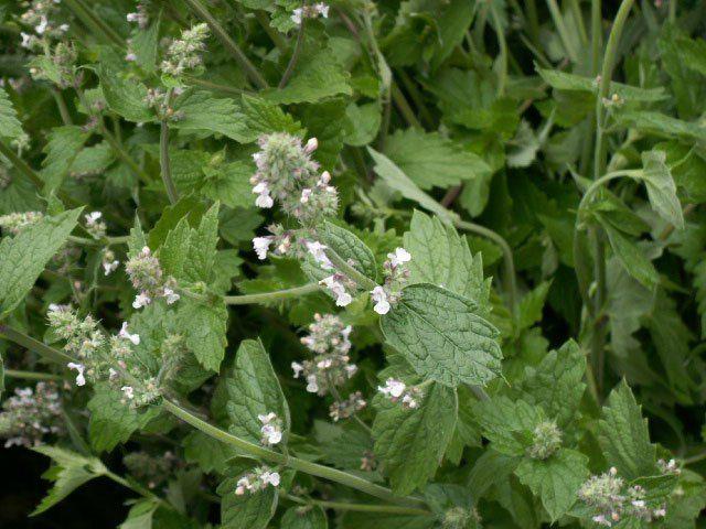 """The """"citronella plant"""" is a geranium plant marketed as """"Pelargonium citrosum"""", but according to the American Botanical Council, """" 'Pelargonium citrosum' is…"""