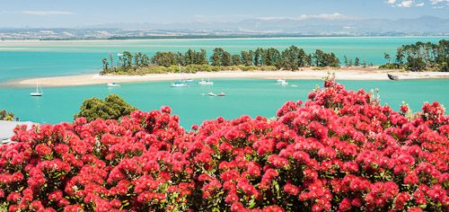 the Pohutukawa, the New Zealand 'Christmas tree' with spiky but vibrant red flowers, blooms briefly in December/January (summer in the Southern Hemisphere!) // here a blooming Pohutukawa overlooks Nelson, at the north end of the South Island, NZ // photo by Graeme Robertson