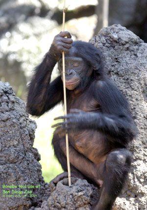 The Bonobo Page (Prof. W. H. Calvin)