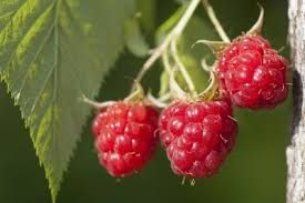 Image result for native raspberry plants