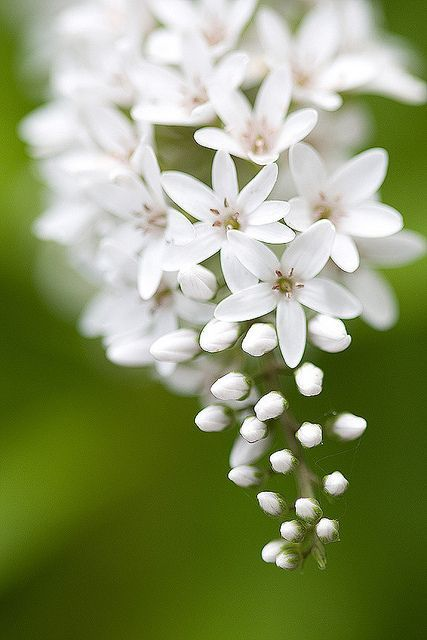 I finally found the name of this plant - Lysimachia clethroides.  bloomingwhite by taryntella2, via Flickr
