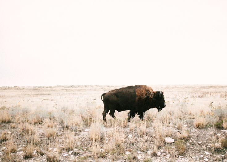 Buffalo by mandi nelson