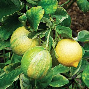I want a pink lemon tree more then anything!!! Meet the variegated pink Eureka lemon | Sunset.com