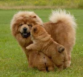 Gabby and her mom playing. http://www.mankouchows.com/More_puppies.htm#
