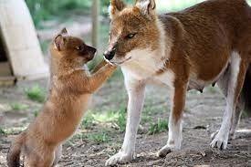 Dhole. El cuón, dole, perro rojo, perro jaro, perro salvaje asiático o perro salvaje indio (Cuon alpinus) es una especie de mamífero carnívoro de la familia Canidae.[2] Es el único miembro existente del género Cuon, que difiere de Canis por el reducido número de molares y un mayor número de pezones. Tiene el mismo tamaño y un gran parecido con el coyote, pero se diferencia de este por su pelo rojizo y en que se trata de un animal social que vive en clanes.