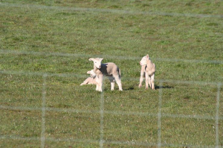 Spring lambs are popping up everywhere. www.theoldfrenchdoors.blogspot.com