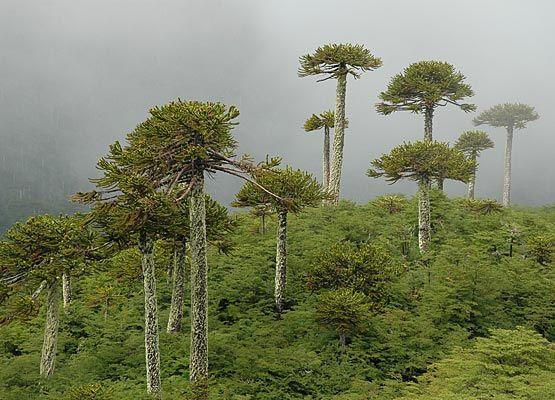 Chile Araucaria forest