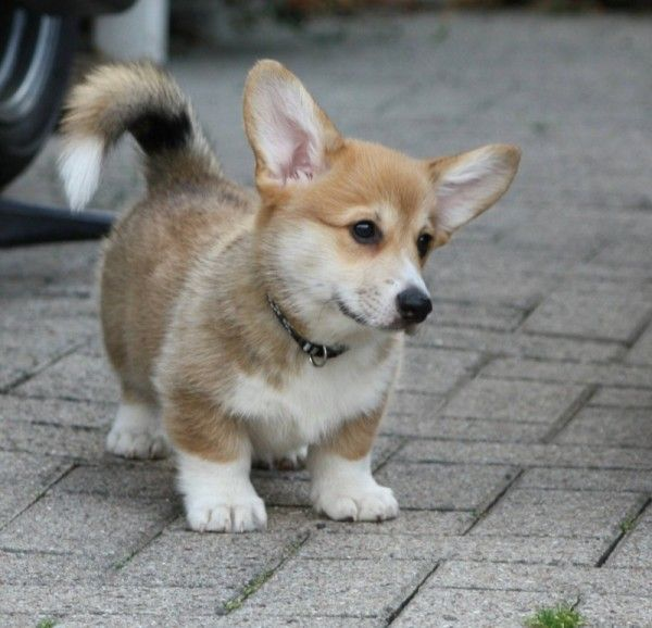 Woody - Corgi of the Day - Friday, October 25th - As always, be sure to show him some love with your votes!