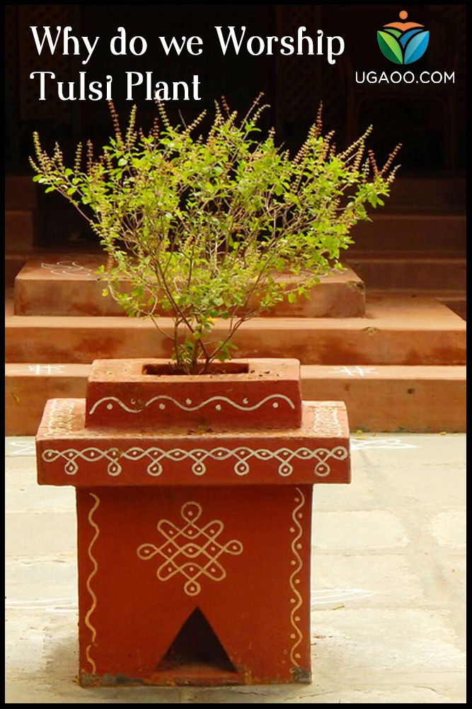 Why Do We Worship Tulsi Plant Tulsi Plant Tulasi Plant Plant Decor