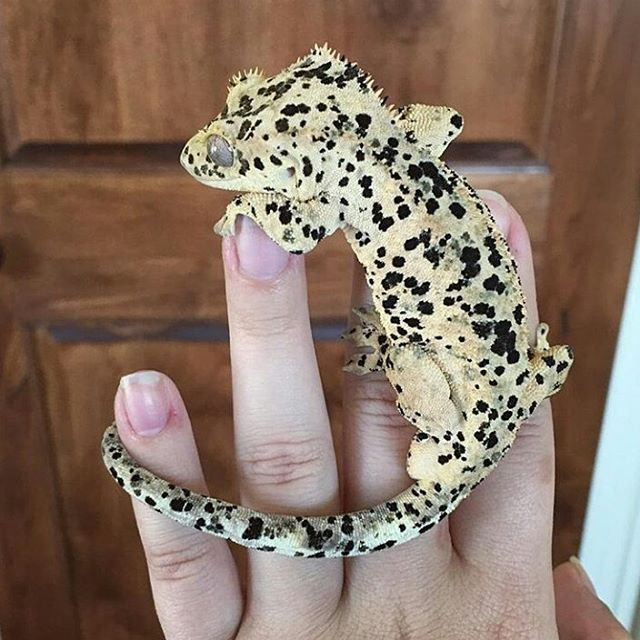 Absolutely ridiculous super dalmatian Crested Gecko..   Repost from @briauna_lotsofspots