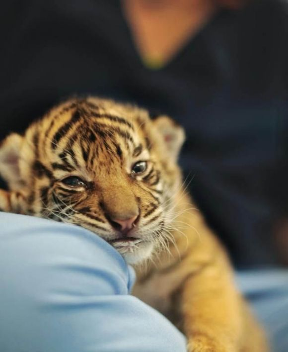 A Tired Tiger by Stephen Moehle / 500px |Bengal Tiger Tired