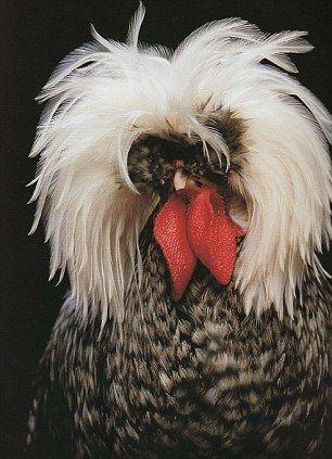 a Polish non-bearded, white-crested cuckoo cockerel