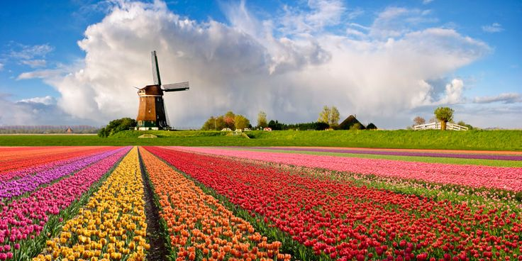 Tulips in Holland!