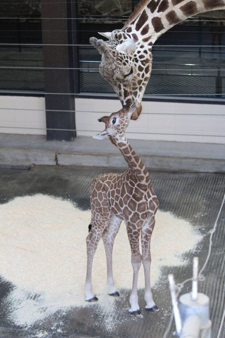 85 best animals and more around the world images on pinterest omahas henry doorly zoo and aquarium welcomed a female reticulated giraffe calf on november she weighed 138 pounds and was 72 inches tall at birth publicscrutiny Gallery
