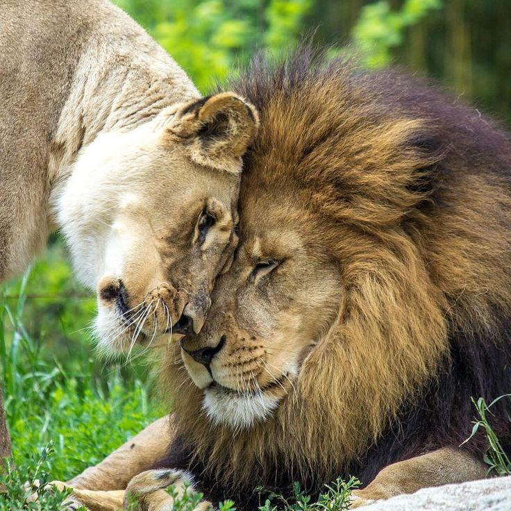 лев в картинках о любви бывают