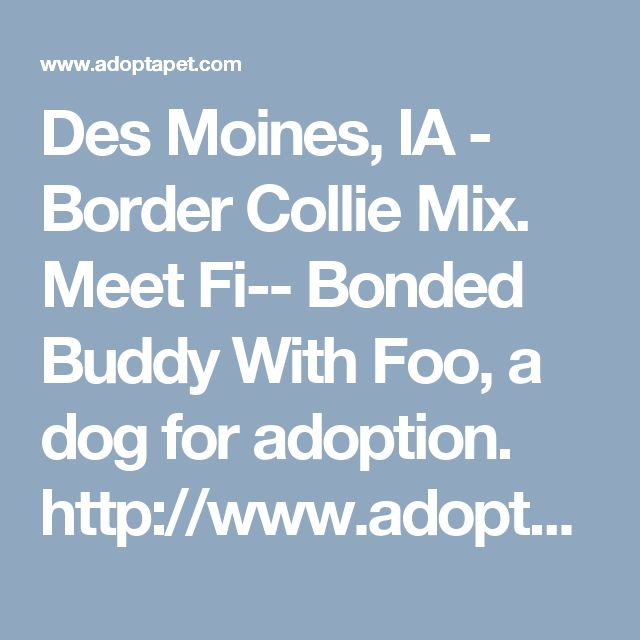 Des Moines, IA - Border Collie Mix. Meet Fi-- Bonded Buddy With Foo, a dog for adoption. http://www.adoptapet.com/pet/17006537-des-moines-iowa-border-collie-mix