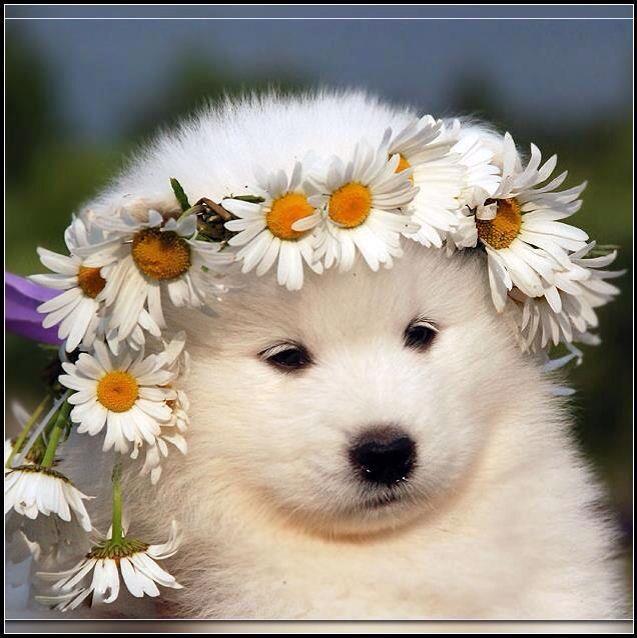 Princess Samoyed, this daisy chain would like beautiful on my Sammy
