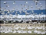 Welcome to the home of snow goose hunting. If you're game for some of the finest snow goose hunting in the Midwest.