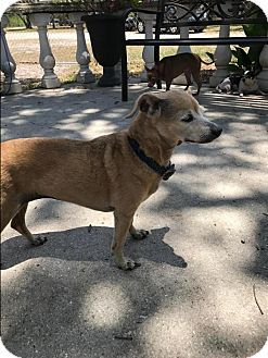 Chihuahua Mix Dog for adoption in Venice, Florida - Chuchi