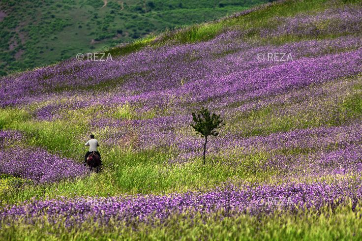 """Azerbaijan, Lerik District, June 1, 2011 A local man rides a horse through a field of wildflowers in the foothills of the mountain in Lerik, a district in southern part of Azerbaijan, near the Iranian border. This mountainous area has earned a reputation as the """"home of people who live to a greatage.""""   #Azerbaijan #Eleganceoffire #Rezaphoto"""