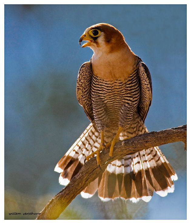 Red-necked Falcon