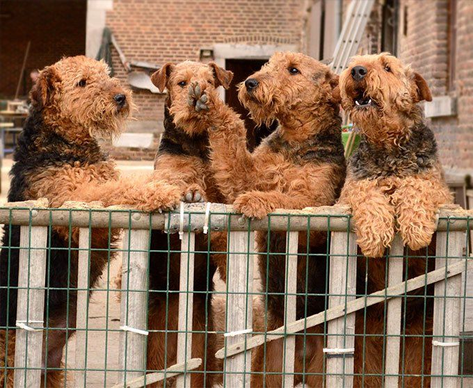 Welsh terrier full grown