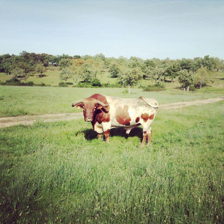 Dehesa de Valdelazarza. Toro berrendo en colorado  #semental #cabestros #campocharro #salamanca #spain #animals #animales #fauna #flora #toros #horns #cuernos