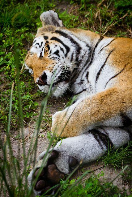animalsthatmakeyousmile:      Animal Kingdom - Let Sleeping Tigers Lie by SpreadTheMagic on Flickr.